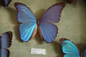 Morpho Aurora butterfly from Bolivia