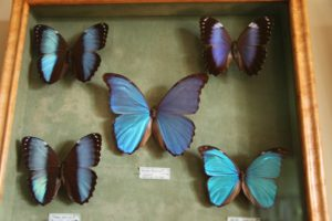 A collection of Blue Morpho butterflies