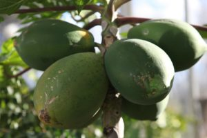 As you can see, it's thriving and the papayas are beginning to ripen.