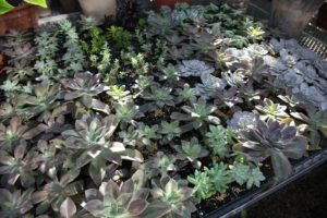 Shaun always has plenty of succulents rooting to plant outdoors in my urns in the spring.