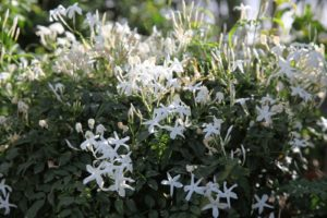 This very fragrant plant is Jasminum polyanthum, an evergreen twining climber from China.  It's fragrance permeates the greenhouse.