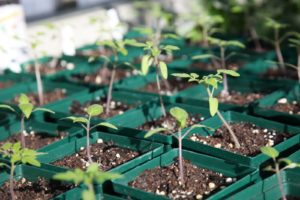 He also has some seedlings sprouting already.  These are tomato plants.