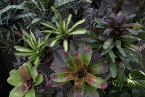 .  The primary job of bromeliad roots is to grip, as nourishment comes mainly through the leaves.  You can see how water collects in the center of the rosette.