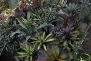 These are some of my very beautiful bromeliads, a huge family of plants which the pineapple is a member of.  These plants grow either terrestrially, meaning with roots in the ground, or epiphytically, as air plants, perched in trees or upon rocks.