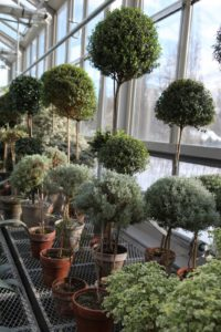 My lovely collection of potted standard topiaries