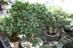 There are many succulents in the greenhouse, including these fleshy jade plants.