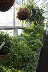 The other half of the greenhouse is devoted to the more moisture-loving plants, like these lush and verdant ferns.  There are many varieties to choose from when decorating the house for entertaining.