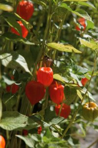 Vibrant Chinese lantern plant (Physalis alkekengi) is also called the winter cherry or bladder cherry.