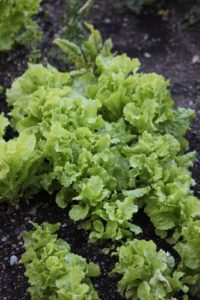 With the cooler temperatures in Maine, it's possible to have leaf lettuce growing all summer long.