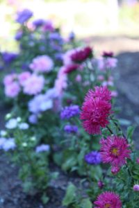 A lovely row of mixed bachelor's buttons or cornflowers