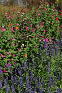 Salvias in the foreground and zinnias behind