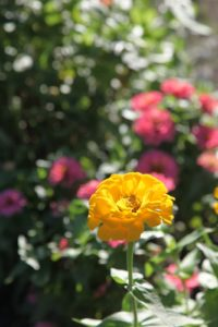 Zinnias are such happy flowers.