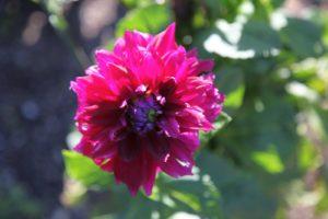 The unfurling petals of a dahlia