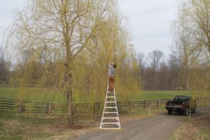 A fruit-picking ladder was used to reach the higher branches.