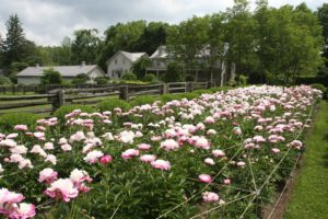 This was a real problem, because I had scheduled my annual peony party for when they would normally be in full bloom.