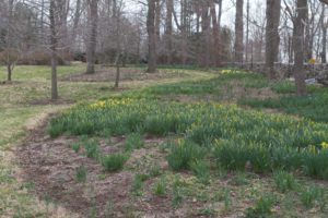 This is the long daffodil border.