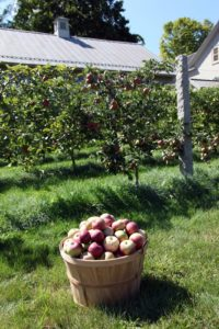 The apples are so abundant this year - we took two bushel baskets into the TV studio to use on set.