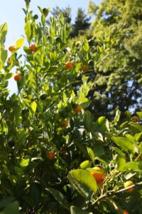 Citrofortunella Microcarpa is a cross between a sour Mandarin (Citrus reticulata) and a kumquat (Fortunella marginata).