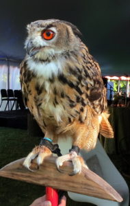 The Eurasian eagle owl is one of the largest species of owls.  Jennifer and her raptors - falcons, hawks, and owls - take part in Caramoor's 'A Day in the Renaissance' educational program, teaching the history, habits, characteristics, and behaviors of raptors.
