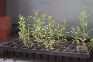 During the winter, Ryan grew many plants from seed, like this flat of tarragon, an aromatic herb.