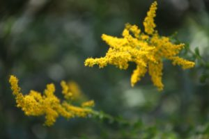 Goldenrod is easily recognized by its golden inflorescence and hundreds of small capitula, or dense clusters of flowers.