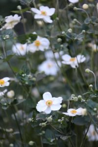 The white anemone flowers are blooming beautifully.