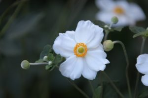 A better look at this pure white-petaled flower