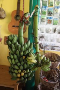 Bananas grown on the farm ripen in the bistro.