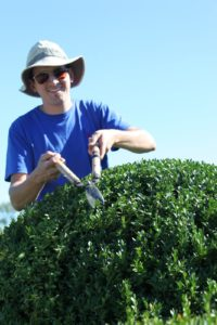 Shaun is clipping away shaping the boxwood.