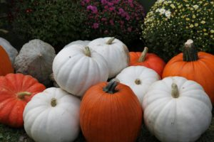 There is quite a large selection of mums, pumpkins, and other squash.