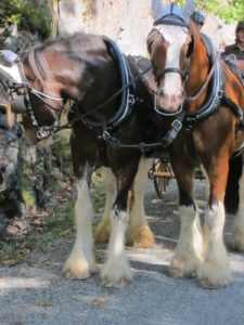 This handsome pair of draft horses was wearing white ear bonnets to keep pesky flies out their ears.