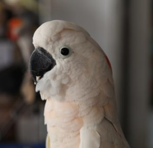 A pretty young pink cockatoo