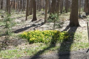 There are even thickets of daffodils blooming in the woodlands.  These were planted about six years ago.