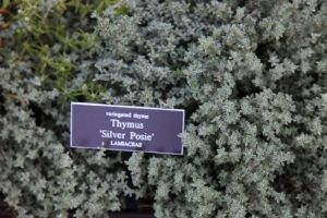 An aromatic variegated thyme