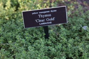 Yellow transparent thyme