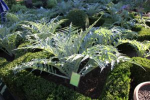 The tall plants inside the boxwood are cardoon.  I love the architectural foliage of the cardoon, a plant cultivated for its edible leafstalks and roots.