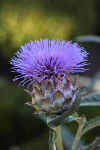 The flower of cardoon, also called artichoke thistle - The leafstalks of cardoon can be cooked like carrots or parsnips.  In Italy they are dipped in olive oil and eaten raw.