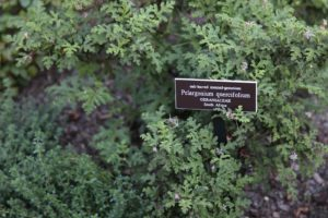 This oak-leaved scented-geranium is so fragrant.