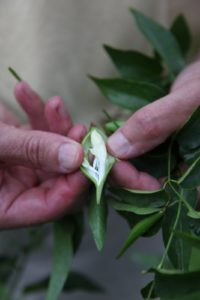 Those pods most likely burst open, sending out seeds that blow in the wind.  Paul also took this weed for analysis.