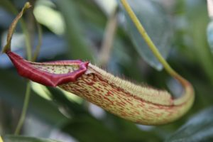 Nepenthes pitchers are composed of  a lid, a rim, and the hollow pitcher.  The lid helps to keep rainwater from collecting inside.