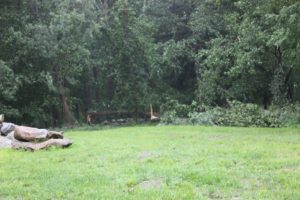 More downed trees along the field walls