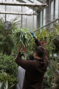 Shaun carefully moves this large and healthy Sedum burrito 'Burros Tail'.