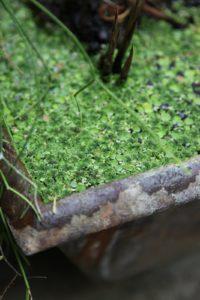Remember last week's water garden blog?  The duck weed is so happy!