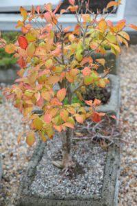 This Stewartia bonsai is gorgeous with its autumn foliage.