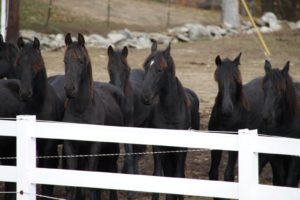 Betsy visited Friesians of Majesty in Townshend, VT.