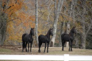 These are certainly noble and majestic Friesians!