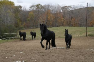 Located in beautiful southern Vermont, Friesians of Majesty is a 650 acre full service breeding and training facility.