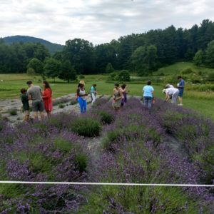 Here is a picture of people who have traveled from all over to come cut their own lavender. Typically, cut lavender lasts more than a week when kept in fresh, clean water. Kevin and his family have given my family many bouquets of fragrant lavender – they are beautiful and last quite a while.