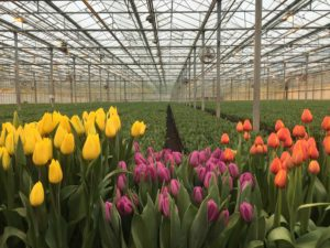 Launched in 2014, Certified American Grown is now the largest and most successful consumer-facing brand promoting the origin of flowers in the market. Today the program certifies hundreds of millions of stems of flowers each year. (Photo provided by Certified American Grown Flowers)