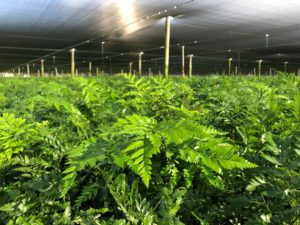 The farmers grow flowers and lush green foliage - look at all these ferns. (Photo provided by Certified American Grown Flowers)